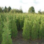 De Thuja Smaragd voor jouw tuin kiezen